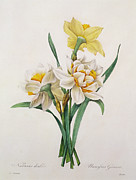 Daffodil Painting Framed Prints - Narcissus gouani Framed Print by Pierre Joseph Redoute