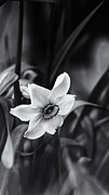 Jonquils Photos - Narcissus in the Shadows by Susan Capuano