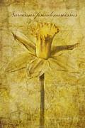 Narcissus Pseudonarcissus Print by John Edwards