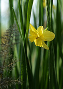 Green Foliage Posters - Narcissus Tripartite with Bronze Fennel Poster by Rebecca Sherman