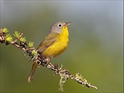 Daniel Behm Art - Nashville Warbler on Lichen Branch by Daniel Behm