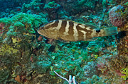 Nassau Grouper Framed Prints - Nassau Grouper Framed Print by Thomas Major