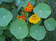 Joe Paradis - Nasturtiums at National...
