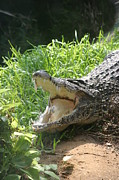 Gator Metal Prints - National Zoo - Alligator - 12123 Metal Print by DC Photographer