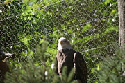 National Zoo - Bald Eagle - 12121 Print by DC Photographer