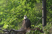Bald Posters - National Zoo - Bald Eagle - 12122 Poster by DC Photographer