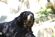 Bears Photos - National Zoo - Bear - 01132 by DC Photographer