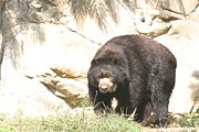 Bears Photos - National Zoo - Bear - 12121 by DC Photographer