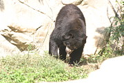 Brown Photo Prints - National Zoo - Bear - 12123 Print by DC Photographer