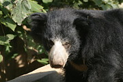 Black Photo Prints - National Zoo - Bear - 12125 Print by DC Photographer