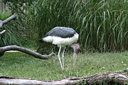 Bird Photo Prints - National Zoo - Birds - 121233 Print by DC Photographer