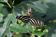 Butterflies Photo Prints - National Zoo - Butterfly - 12121 Print by DC Photographer
