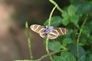 Animals Prints - National Zoo - Butterfly - 12122 Print by DC Photographer