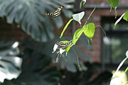 Flies Prints - National Zoo - Butterfly - 12123 Print by DC Photographer