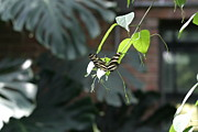 Flies Framed Prints - National Zoo - Butterfly - 12124 Framed Print by DC Photographer