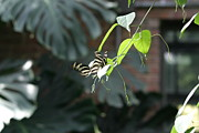 Butterflies Photo Prints - National Zoo - Butterfly - 12125 Print by DC Photographer