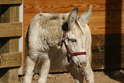 Donkey Acrylic Prints - National Zoo - Donkey - 12124 Acrylic Print by DC Photographer
