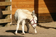 Donkey Art - National Zoo - Donkey - 12125 by DC Photographer