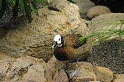 Ducks Metal Prints - National Zoo - Duck - 121212 Metal Print by DC Photographer