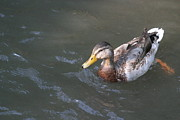 Duckies Prints - National Zoo - Duck - 12122 Print by DC Photographer