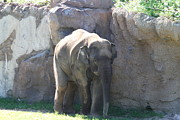 Animals Photo Framed Prints - National Zoo - Elephant - 011319 Framed Print by DC Photographer