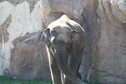 Elaphant Posters - National Zoo - Elephant - 011320 Poster by DC Photographer