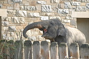 Elaphant Posters - National Zoo - Elephant - 12121 Poster by DC Photographer