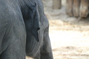National Zoo - Elephant - 12125 Print by DC Photographer