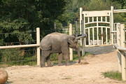 Zoo Prints - National Zoo - Elephant - 12127 Print by DC Photographer