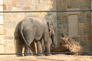 Elaphant Posters - National Zoo - Elephant - 12128 Poster by DC Photographer