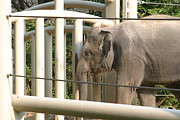 Elaphant Posters - National Zoo - Elephant - 12129 Poster by DC Photographer