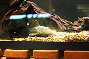Fishies Photo Framed Prints - National Zoo - Fish - 011310 Framed Print by DC Photographer