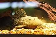Marine Photo Metal Prints - National Zoo - Fish - 011311 Metal Print by DC Photographer