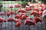 Flamingos Framed Prints - National Zoo - Flamingo - 01131 Framed Print by DC Photographer