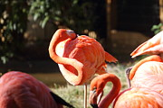 Flamingos Photos - National Zoo - Flamingo - 01135 by DC Photographer