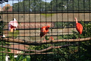 Flamingoes Art - National Zoo - Flamingo - 12121 by DC Photographer