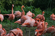 Flamingos Acrylic Prints - National Zoo - Flamingo - 12123 Acrylic Print by DC Photographer
