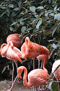 Bright Photo Prints - National Zoo - Flamingo - 12124 Print by DC Photographer