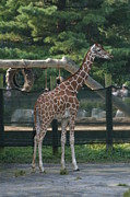 Giraffes Posters - National Zoo - Giraffe - 12121 Poster by DC Photographer