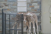 Giraffe Art - National Zoo - Giraffe - 12122 by DC Photographer
