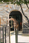 Giraffes Framed Prints - National Zoo - Giraffe - 12123 Framed Print by DC Photographer