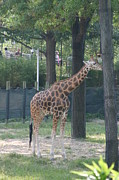 Giraffes Framed Prints - National Zoo - Giraffe - 12124 Framed Print by DC Photographer