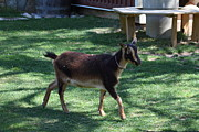 Goat Art - National Zoo - Goat - 01134 by DC Photographer