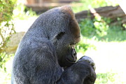 Washington Prints - National Zoo - Gorilla - 011321 Print by DC Photographer