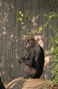 Gorilla Photos - National Zoo - Gorilla - 121222 by DC Photographer