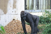 National Zoo - Gorilla - 121242 Print by DC Photographer