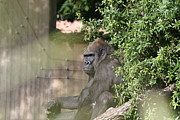 Gorilla Framed Prints - National Zoo - Gorilla - 121256 Framed Print by DC Photographer
