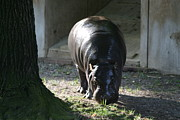 Hippopotamus Metal Prints - National Zoo - Hippopotamus - 12121 Metal Print by DC Photographer