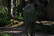 Bigcat Prints - National Zoo - Leopard - 011313 Print by DC Photographer