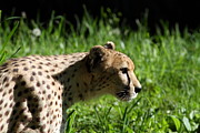 National Zoo - Leopard - 011316 Print by DC Photographer